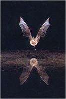 "Claudio Calvani ""Bat drinking n. 4"" - Sez. Stampe Colore 1° Premio"