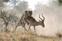"Claudio Calosi ""Il hepardo e l'impala"" - Trofeo Goiorani Tema Natura"