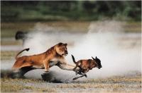 """Pierluigi Rizzato """"Lioness Hunting"""" - Sez. CLP Tema Natura 2° Premio"""