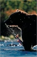 """Pierluigi Rizzato """"Grizzly feeding"""" - Sez. CLP Tema Natura 2° Premio"""