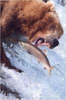 """Davide Gasparetti """"Orso con salmone"""" - Sez. CLP Tema Natura 3° Premio"""