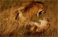 """Pierluigi Rizzato """"Lions fighting"""" - Sez. Stampe Colore Tema Natura premio speciale Pianeta"""