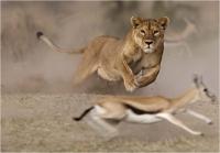"""Pierluigi Rizzato """"Lioness hunt"""" - Sez. IP Colore Premio ex-aequo"""