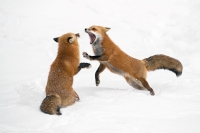 Ramella Milo Angelo - Fox fight