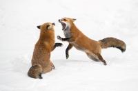 Ramella Milo Angelo - Fox fight