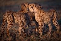 "Rossi Mauro ""Cheetahs"""