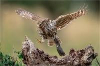 "Rossi Mauro ""Little owl"""