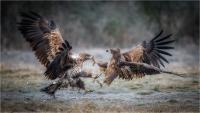 "Rossi Mauro ""Eagles fighting (2019)"" - Premio-EX-Aequo Immagini digitali CL"
