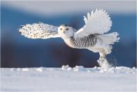 """Rossi Mauro """"Snowy owl"""" (2020)"""