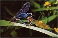 """Giovanni Codari """"Amore di Colopteryx"""" - Migliore Macrodia"""